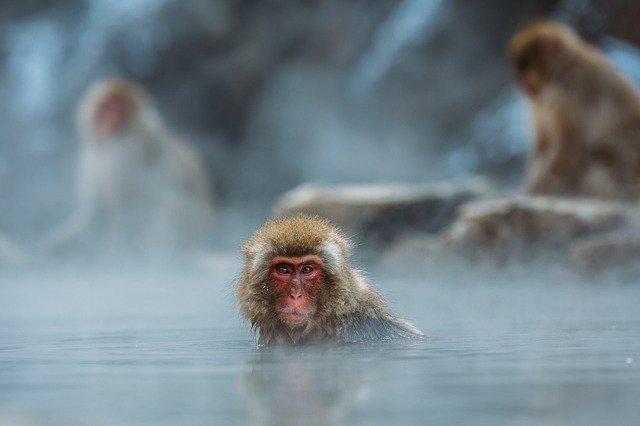 macaque-1846731_640.jpg